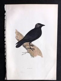 Morris 1897 Antique Hand Col Bird Print. Jackdaw